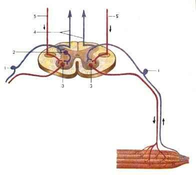 Распространение (направление показано стрелками) нервных импульсов по простой рефлекторной дуге