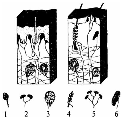 Кожные рецепторы