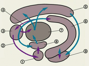 Морфофункциональная характеристика лимбической системы — схема взаимодействия структур круга Пейпса