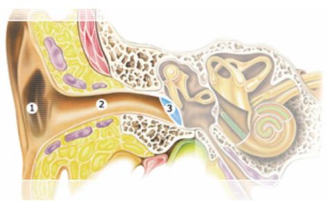 Наружное ухо (наружный слуховой проход, ушная раковина с мышцами и связками)