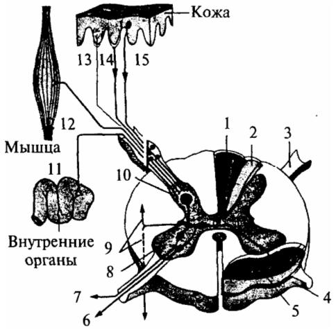 Соединение путей кожных и висцеральных рецепторов в спинном мозге