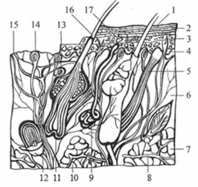 Схематический разрез кожи