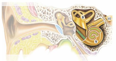 Внутреннее ухо (перепончатый лабиринт, располагающийся в костном лабиринте внутри пирамиды височной кости)