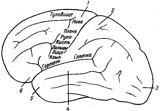 Рис. 2. Схема отдельных областей коры больших полушарий головного мозга.